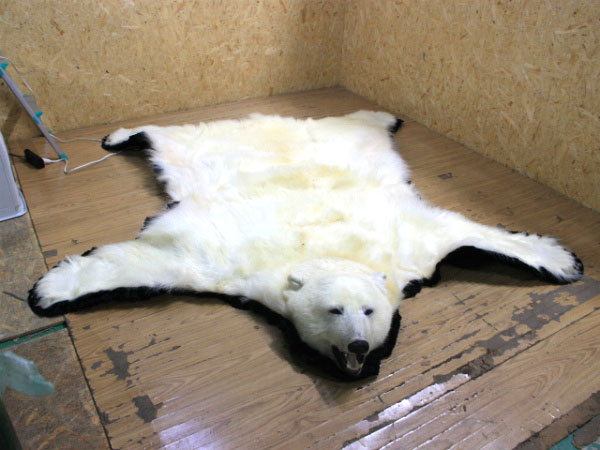 宅配 白熊の剥製を20000円で買取ました。@浜松市東区(ID:31717)
